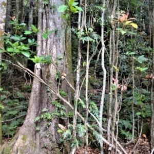 Sloanea australis at Cambewarra Range Nature Reserve - 13 Oct 2020