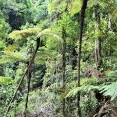 Cyathea leichhardtiana (Slender Tree Fern) at Cambewarra Range Nature Reserve - 12 Oct 2020 by plants