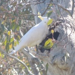 Cacatua galerita (Sulphur-crested Cockatoo) at Lanyon - northern section - 26 Aug 2020 by michaelb