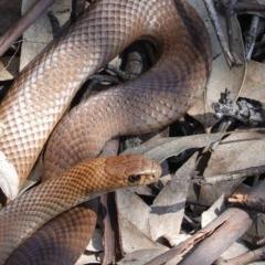 Pseudonaja textilis (Eastern Brown Snake) at Hughes Grassy Woodland - 12 Oct 2020 by JackyF