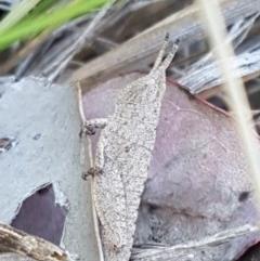 Goniaea sp. (genus) (TBC) at Aranda Bushland - 13 Oct 2020 by tpreston