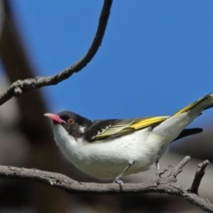 Grantiella picta (Painted Honeyeater) at Mount Ainslie - 12 Oct 2020 by ConBoekel