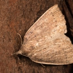 Authaemon stenonipha (Pale-bordered Cape-moth) at Paddys River, ACT - 14 Mar 2018 by kasiaaus