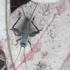 Eurepa marginipennis (Mottled bush cricket) at Aranda Bushland - 13 Oct 2020 by tpreston