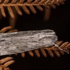 Capusa (genus) (Wedge moth) at Bimberi Nature Reserve - 7 Feb 2019 by kasiaaus