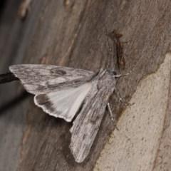 Capusa senilis (Black-banded Wedge-moth) at Bimberi Nature Reserve - 7 Feb 2019 by kasiaaus