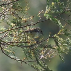 Acanthiza pusilla (Brown Thornbill) at Tuggeranong DC, ACT - 12 Oct 2020 by RodDeb