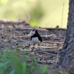 Rhipidura leucophrys (Willie Wagtail) at Tuggeranong DC, ACT - 12 Oct 2020 by RodDeb