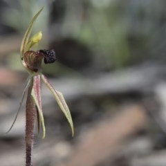Caladenia actensis (Canberra spider orchid) at Mount Ainslie - 27 Sep 2020 by MichaelMulvaney