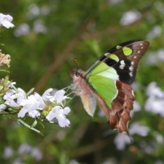 Graphium macleayanum (Macleay's Swallowtail) at ANBG - 12 Oct 2020 by TimL