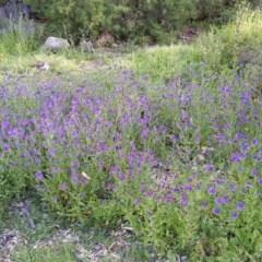 Echium plantagineum (Paterson's Curse) at Mount Ainslie - 12 Oct 2020 by SusanneG