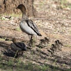 Chenonetta jubata (Australian Wood Duck) at Mount Ainslie - 12 Oct 2020 by AlisonMilton