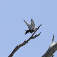 Artamus cyanopterus (Dusky Woodswallow) at Mount Ainslie - 12 Oct 2020 by Alison Milton