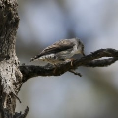 Daphoenositta chrysoptera (Varied Sittella) at Mount Ainslie - 12 Oct 2020 by Alison Milton