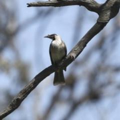 Philemon corniculatus (Noisy Friarbird) at Mount Ainslie - 12 Oct 2020 by Alison Milton