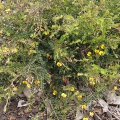 Bossiaea buxifolia (Bush Pea) at Umbagong District Park - 13 Oct 2020 by pinnaCLE