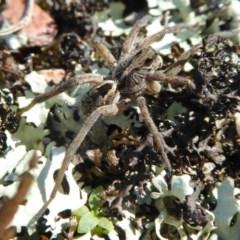 Tasmanicosa godeffroyi (Garden Wolf Spider) at Yass River, NSW - 13 Oct 2020 by SenexRugosus