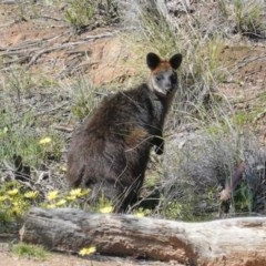 Wallabia bicolor (Swamp Wallaby) at Mulligans Flat - 2 Oct 2020 by JackyF