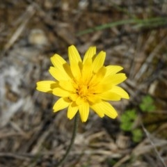 Microseris walteri (Murnong, Yam Daisy) at Black Mountain - 10 Oct 2020 by MatthewFrawley
