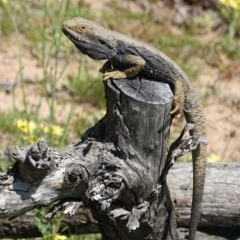 Pogona barbata (Eastern Bearded Dragon) at Hughes Grassy Woodland - 4 Oct 2020 by JackyF