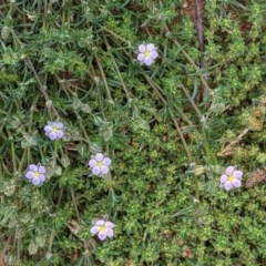Spergularia rubra (Sandspurrey) at Red Hill Nature Reserve - 4 Oct 2020 by JackyF