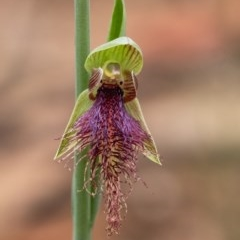 Calochilus robertsonii (Beard Orchid) at Penrose - 6 Oct 2020 by Aussiegall