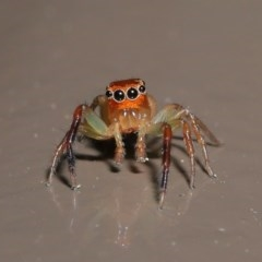 Prostheclina amplior (Orange Jumping Spider) at ANBG - 13 Oct 2020 by Tim L