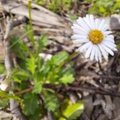 Brachyscome willisii (Narrow-wing daisy) at Wandiyali-Environa Conservation Area - 11 Oct 2020 by samreid007