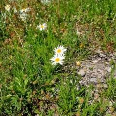 Brachyscome dentata (Lobe-seed Daisy) at Wandiyali-Environa Conservation Area - 11 Oct 2020 by samreid007