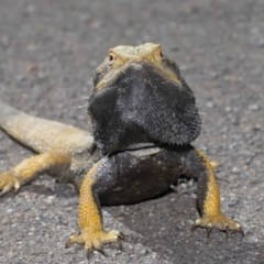 Pogona barbata (Eastern Bearded Dragon) at ANBG - 12 Oct 2020 by Tim L