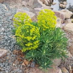 Euphorbia characias (Mediterranean spurge) at City Renewal Authority Area - 13 Oct 2020 by tpreston