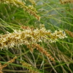 Carex appressa (Tall Sedge) at City Renewal Authority Area - 13 Oct 2020 by tpreston