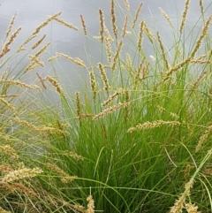 Carex appressa at City Renewal Authority Area - 14 Oct 2020