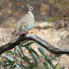 Phaps chalcoptera (Common Bronzewing) at ANBG - 10 Oct 2020 by Christine