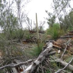 Xanthorrhoea glauca subsp. angustifolia (Grey Grass-tree) at Lower Cotter Catchment - 13 Oct 2020 by SandraH