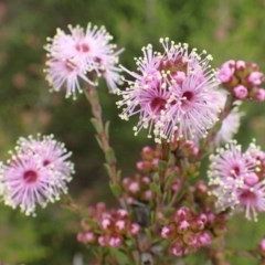 Kunzea parvifolia (Violet kunzea) at Black Mountain - 13 Oct 2020 by RWPurdie