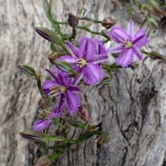 Thysanotus patersonii (Twining fringe lily) at Black Mountain - 13 Oct 2020 by RWPurdie