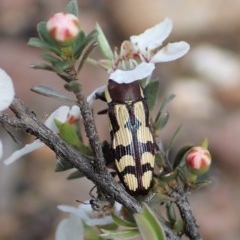 Castiarina decemmaculata (Ten-spot Jewel Beetle) at Aranda Bushland - 13 Oct 2020 by CathB
