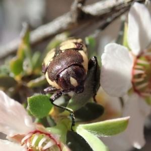 Castiarina decemmaculata at Aranda Bushland - 13 Oct 2020