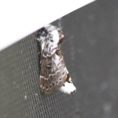 Genduara subnota (Clear Winged Snout Moth) at Ulladulla, NSW - 14 Oct 2020 by CBrandis