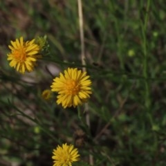Calotis lappulacea (Yellow burr daisy) at Stirling Park - 11 Oct 2020 by AndrewZelnik