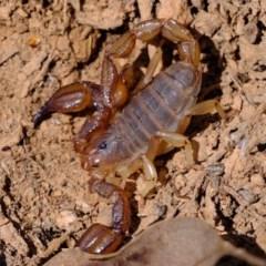 Urodacus manicatus (Black Rock Scorpion) at Mount Majura - 14 Oct 2020 by Kurt