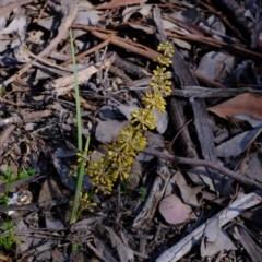 Lomandra multiflora (Many-flowered Matrush) at Aranda, ACT - 12 Oct 2020 by Kurt