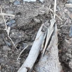 Cryptobothrus chrysophorus (TBC) at Dunlop Grasslands - 14 Oct 2020 by tpreston