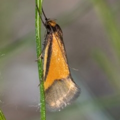 Philobota sp near arabella (A concealer moth) at ANBG - 14 Oct 2020 by Roger