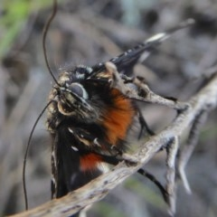 Eutrichopidia latinus (Yellow-banded Day-moth) at Rugosa at Yass River - 12 Oct 2020 by SenexRugosus