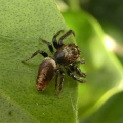 Opisthoncus sp. (genus) (Unidentified Opisthoncus jumping spider) at Kambah, ACT - 14 Oct 2020 by HarveyPerkins