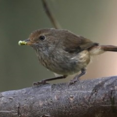 Acanthiza pusilla (Brown Thornbill) at Rosedale, NSW - 11 Oct 2020 by jbromilow50