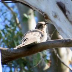 Cacomantis pallidus (Pallid Cuckoo) at Mongarlowe River - 13 Oct 2020 by LisaH