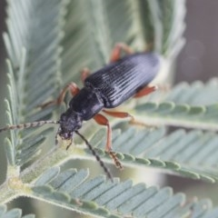Lepturidea sp. (genus) (Comb-clawed beetle) at Gossan Hill - 14 Oct 2020 by Alison Milton